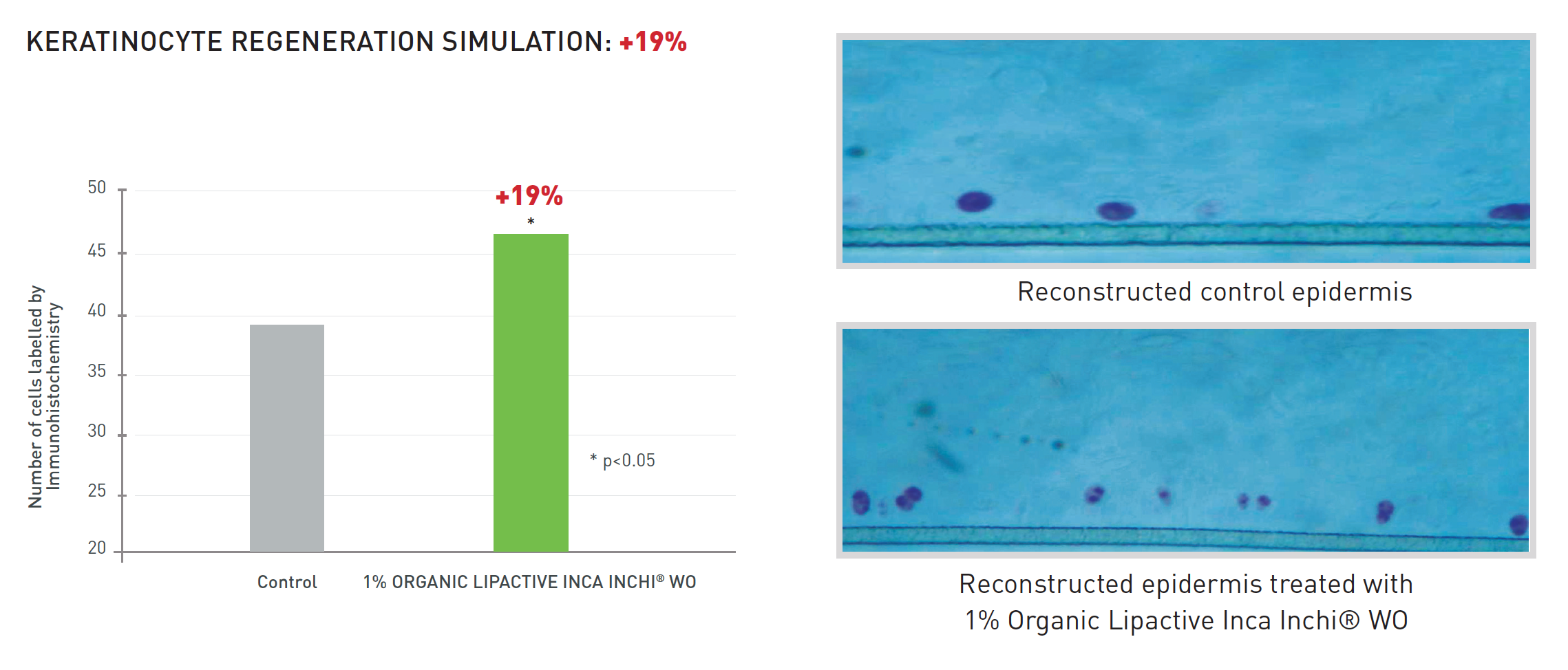 Keratinocyte Regenration Simulation: +19% vs. Control. Reconstructed epidermis microscopic imagery vs. control.
